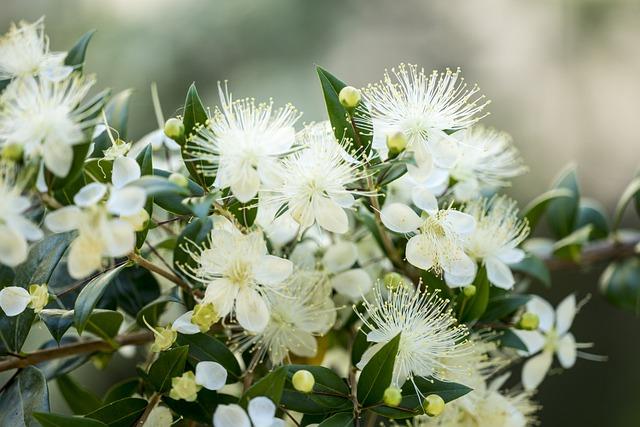 kebiasaan unik kerajaan inggris dengan bunga myrtle